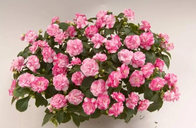 Бальзамин Уоллера розовый