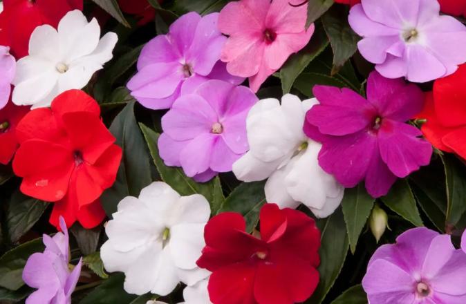 Бальзамин комнатный садовый, выращивание, уход. Ванька мокрый цветок уход.