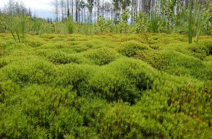 Кукушкин лен что за растение. Среда обитания, стадии развития жизненный цикл мха Кукушкин лен.
