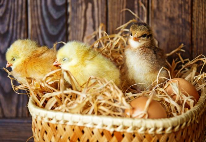 Как вырастить цыпленка из яйца