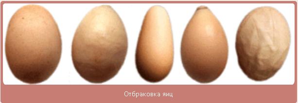 как вырастить из яйца цыпленка