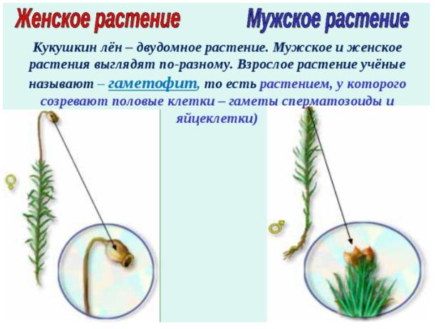 Женское и мужское растение Кукушкин лен