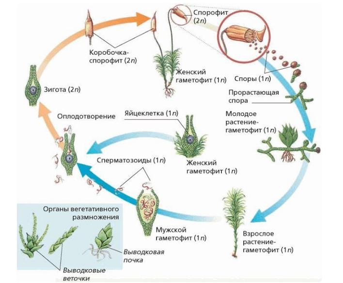 Жизненный цикл Кукушкина льна