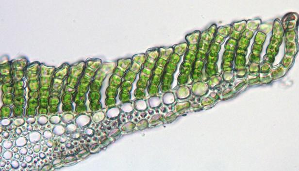 Клеточный уровень проводящей системы