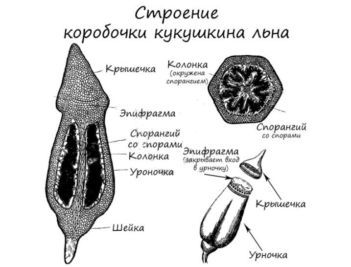 Строение мха Кукушкин лен