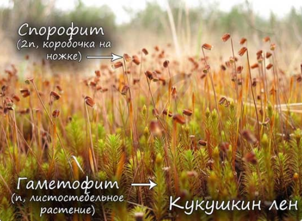 Особенности строения Кукушкин лен