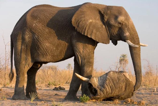 Самые опасные животные в мире ТОП 10. Листолаз, лейрус, черная мамба, гребнистый крокодил, тупорылая акула, кубомедуза, африканский буйвол, белый медведь, слон, конусная улитка.