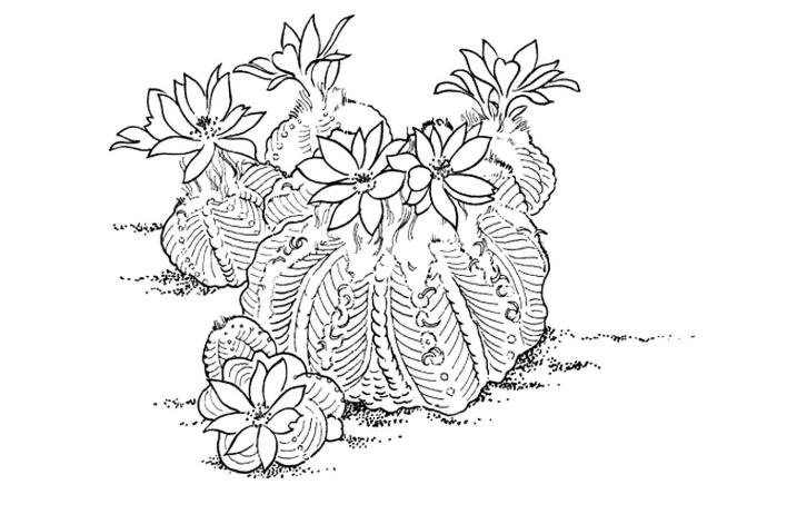 кактус - раскрска