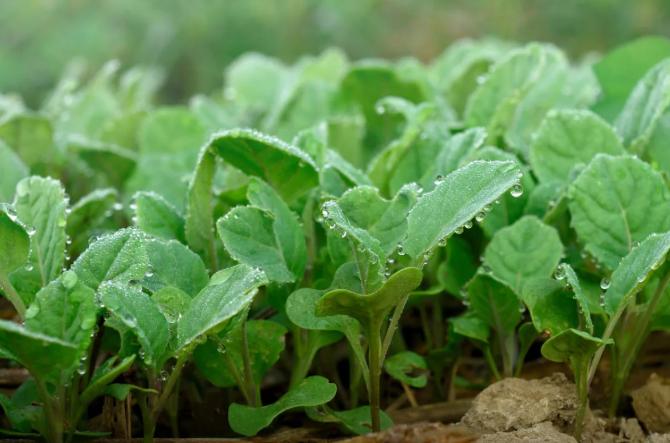 Настой для подкормки растений. Травяной настой применение на огороде. Настой из крапивы для подкормки.