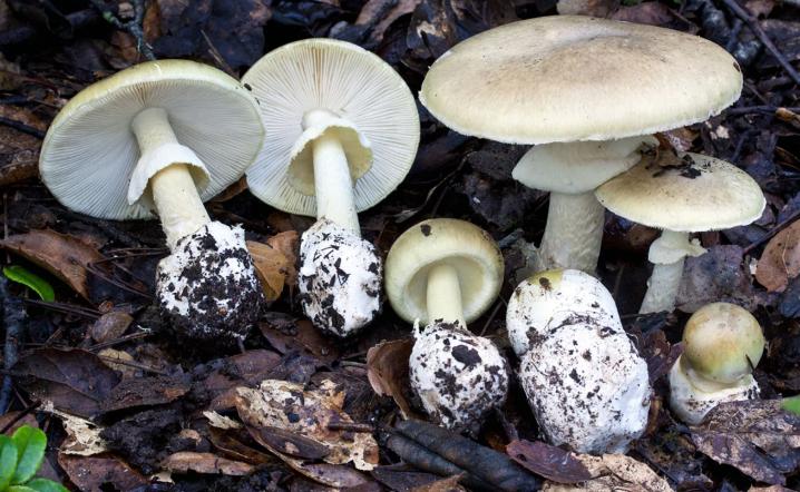 Какие грибы ядовитые. Бледная поганка, сатанинский гриб, мухомор, галерина окаймленная. Ложные лисички ядовиты или нет. Первая помощь при отравлении ядовитыми грибами.