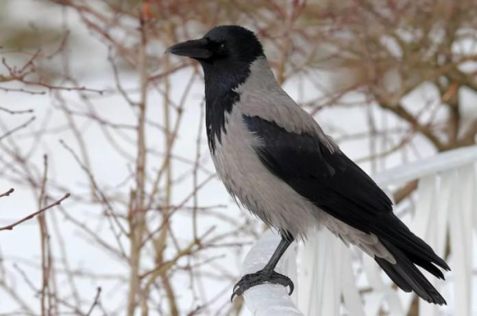ворона зимующая птица