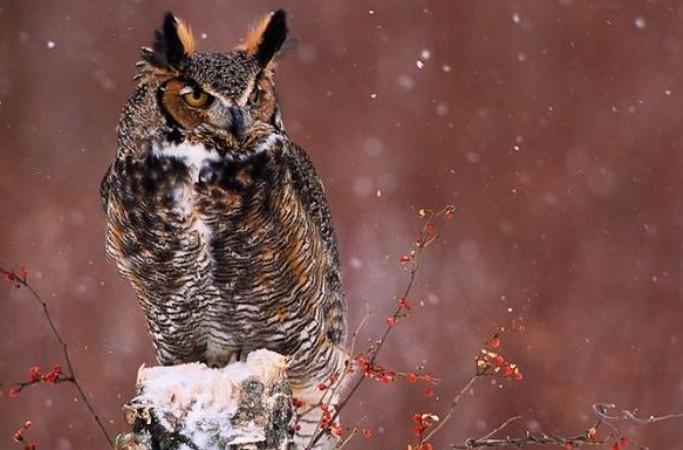 филин зимующая птица