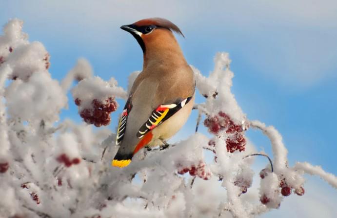 зимующие птицы свиристель