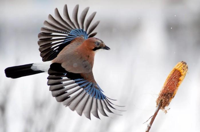 зимующая птица сойка