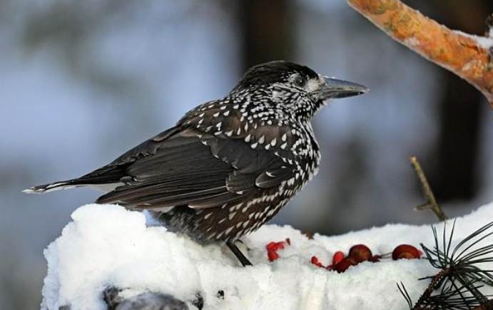 зимующие птицы кедровка