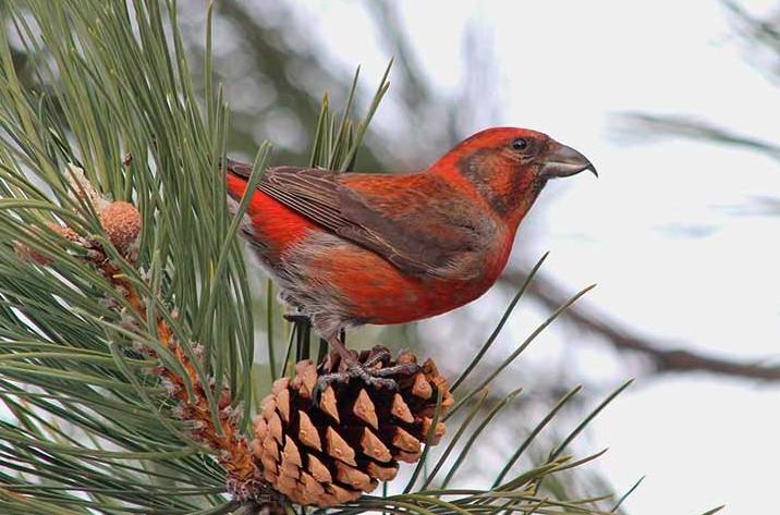 зимующие птицы клест