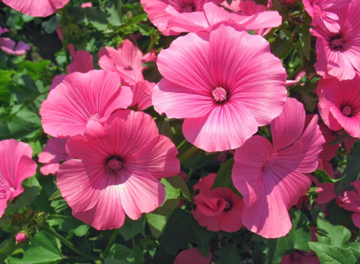 Цветы для сада однолетние, неприхотливые. Однолетники вьющиеся, почвопокровные, бордюрные, сухоцветы, декоративно-лиственные.