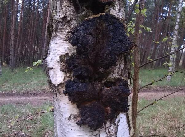 Гриб чага, где растет, как выглядит, когда собирать. Как отличить чагу. От чего помогает гриб чага.