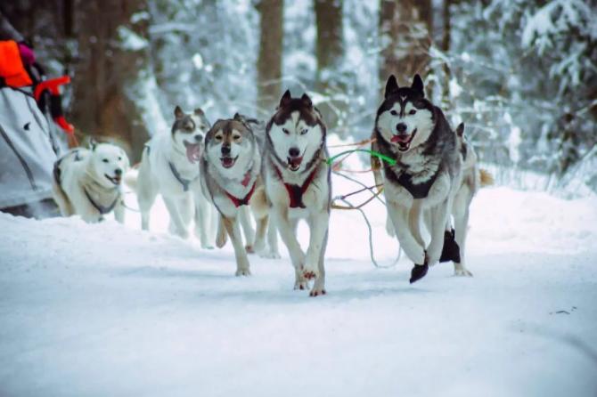 Катание на собачьих упряжках в Карелии
