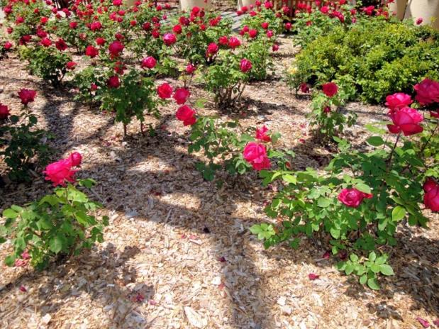 Розы. Уход за розами. Посадка роз в открытый грунт.