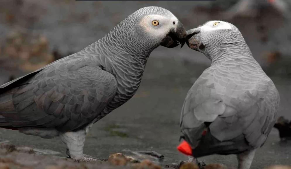 Попугай Жако домашний любимец. Виды, особенности. Попугай Жако говорит видео. Цена попугая Жако.