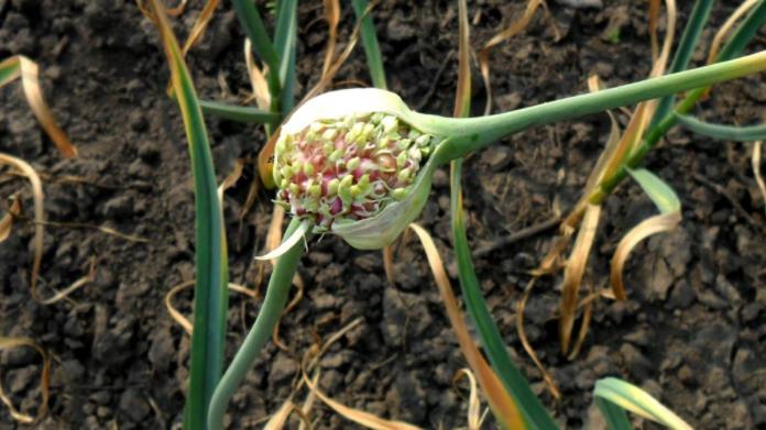Семена озимого чеснока